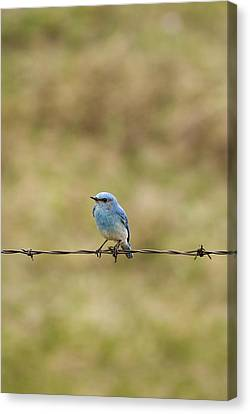 Mountain Bluebird On A Fence Wire Canvas Print by Philippe Widling