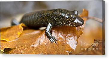 Mountain Dusky Salamander Canvas Print by Dustin K Ryan