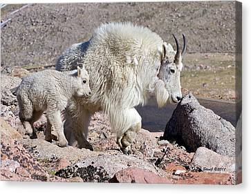 Mountain Goat Momma With Kid Canvas Print by Stephen  Johnson