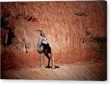 Mountain Goat Zion National Park Canvas Print