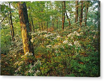 Mountain Laurel Blooming In A Hyner Canvas Print