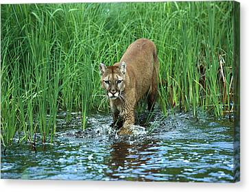 Mountain Lion Puma Concolor Wading Canvas Print by Konrad Wothe