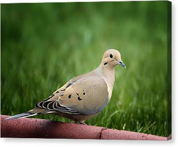 Mourning Dove Canvas Print by Bill Tiepelman