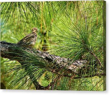 Mourning Dove In Pine Canvas Print