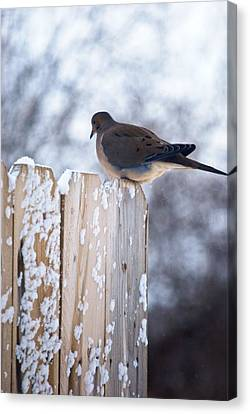 Canvas Print - Mourning Dove by Kimberly Deverell