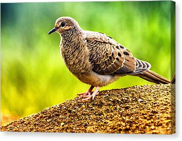 Mourning Dove Canvas Print by Linda Tiepelman