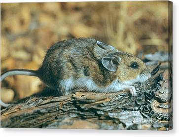 Mouse On A Log Canvas Print by Photo Researchers, Inc.