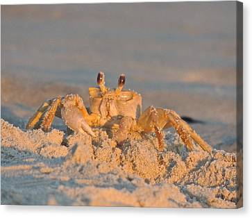 Mr. Crabby Canvas Print by Eve Spring