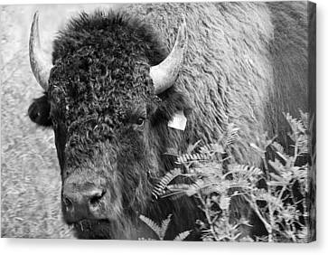 Mr Goodnight's Bison Canvas Print by Melany Sarafis