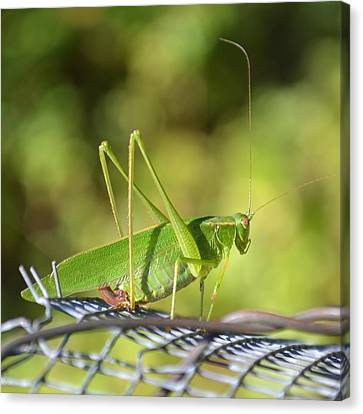 Canvas Print featuring the photograph Mr Grasshopper by Mary Zeman