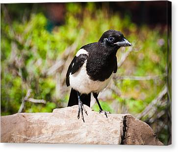 Canvas Print featuring the photograph Mr. Magpie by Cheryl Baxter