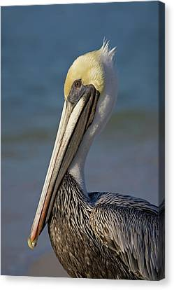 Mr Pelican Canvas Print by Nick  Shirghio