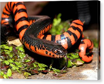 Mud Snake Canvas Print by Griffin Harris