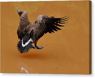 Muddy Pond Hover Landing Goose  - C4558d  Canvas Print by Paul Lyndon Phillips