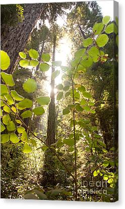 Muir Woods Magic Canvas Print by Rossi Love