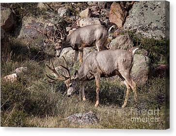 Mule Deer Bucks Canvas Print by Ronald Lutz