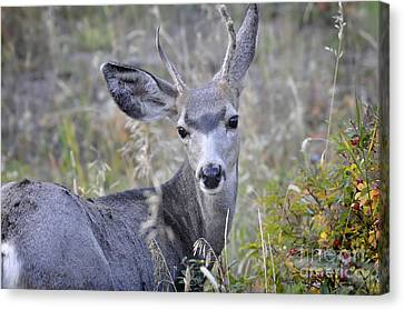 Canvas Print featuring the photograph Mule Deer On Fall River by Nava Thompson