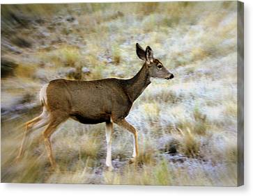 Mule Deer On The Move Canvas Print by Marty Koch