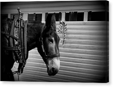 Mule - Tied Up For A While Canvas Print by Travis Truelove