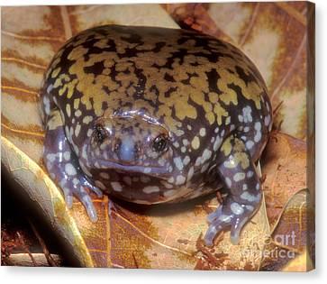 Mullers Termite Frog Canvas Print by Dante Fenolio