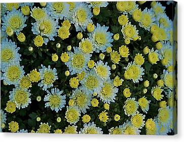 Canvas Print featuring the photograph Mums by Joseph Yarbrough