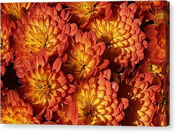 Mums Of A Different Color Canvas Print by Bruce Bley