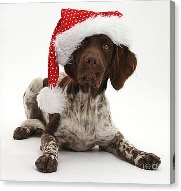 Munsterlander Wearing Christmas Hat Canvas Print