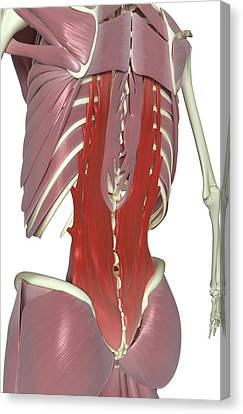 Muscles Of The Back Canvas Print by MedicalRF.com