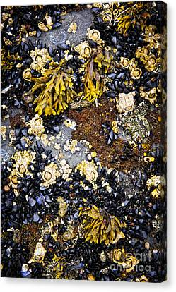 Vancouver Island Canvas Print - Mussels And Barnacles At Low Tide by Elena Elisseeva
