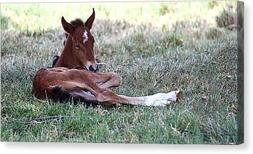 Mustang Filly Canvas Print by Elizabeth Hart