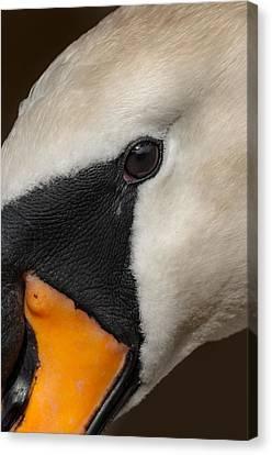 Mute Swan Close Up Canvas Print
