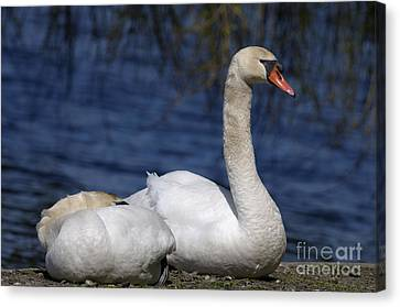 Mute Swans By Lagoon Canvas Print by Sharon Talson