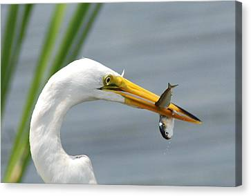 My Catch Canvas Print by Kathy Gibbons