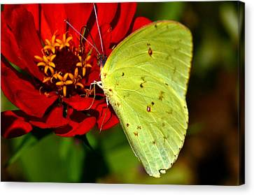 My Golden Wings.... Canvas Print