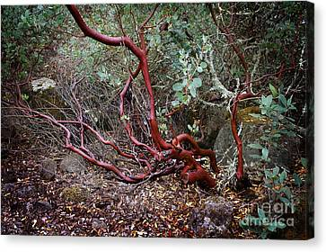 Mysterious Manzanita Canvas Print by Laura Iverson