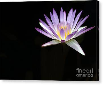 Mysterious Water Lily Canvas Print by Sabrina L Ryan