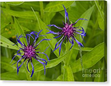 Mystery Wildflower 2 Canvas Print