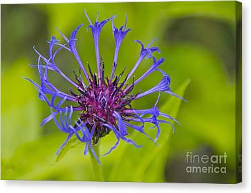 Mystery Wildflower 3 Canvas Print