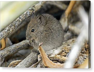 Namaqua Rock Mouse Canvas Print by Peter Chadwick