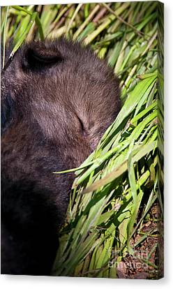 Nap Time Canvas Print by Michael Cummings