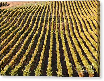 Napa Valley Vineyard . 7d9061 Canvas Print by Wingsdomain Art and Photography