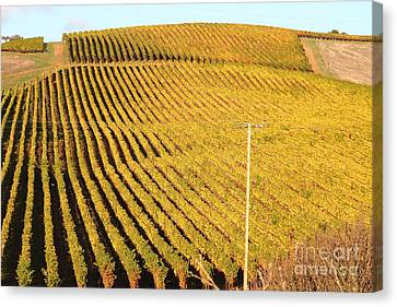 Napa Valley Vineyard . 7d9062 Canvas Print by Wingsdomain Art and Photography