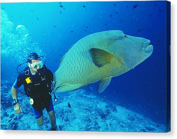 Napoleon Wrasse And Diver Canvas Print by Matthew Oldfield