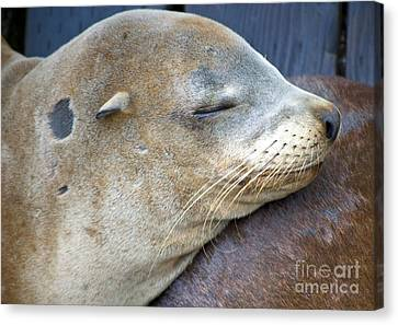 Napping Canvas Print by Gwyn Newcombe