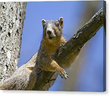 Fox Squirrel Canvas Print - Natural Blues by Betsy Knapp
