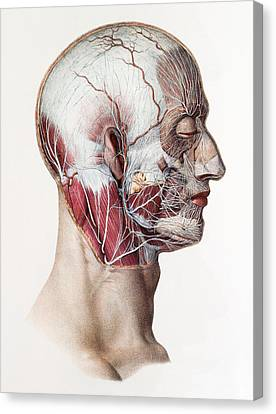 Neck And Facial Nerves Canvas Print by Mehau Kulyk
