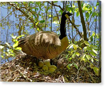 Nesting Canada Goose In The Heat Of The Day - C0567c Canvas Print by Paul Lyndon Phillips