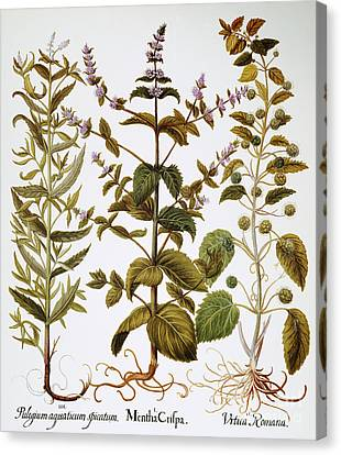 Nettles And Mint, 1613 Canvas Print