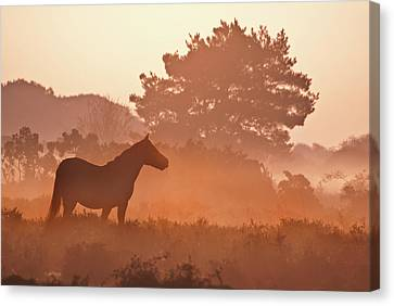 New Forest Pony In Mist At Dawn. Canvas Print by Julie Mitchell/Southdowns Photographics