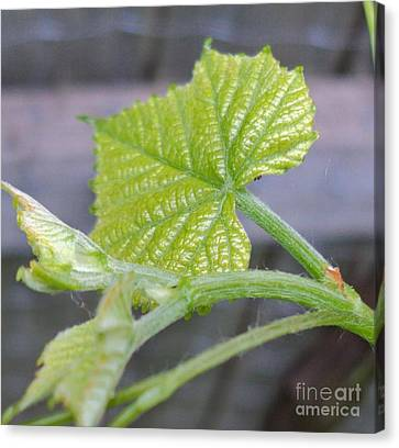 New Grape Leaves Macro Canvas Print by Padre Art